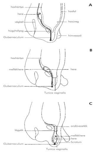A pénisz megnagyobbodása az életkor előrehaladtával - radiocell.hu